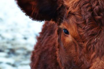 cow-174822_1920