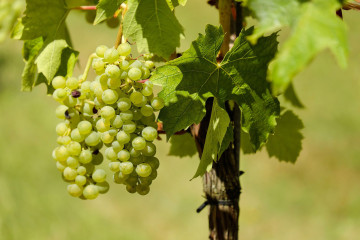 grapes-1611089_1280