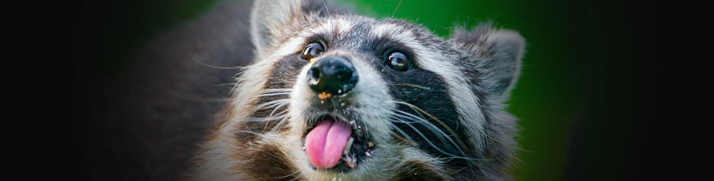 Cheeky-Raccoon