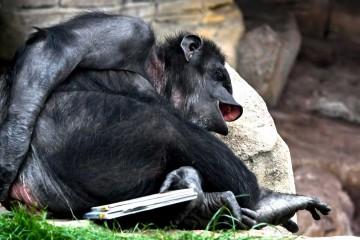 Laughing-Gorilla