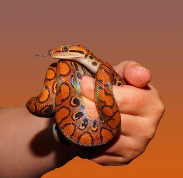 animal-hand-rainbow-boa-34426
